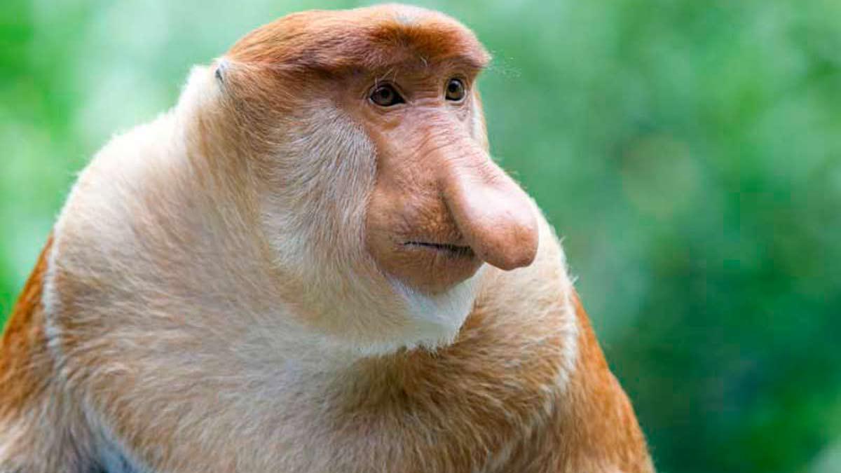 monos narigudos