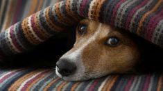 ¿Sabes detectar si un perro tiene fiebre? Descubre cómo.