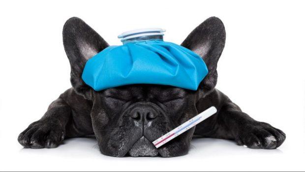 C mo saber si un perro tiene fiebre con estas indicaciones - Como saber si un coche tiene cargas ...