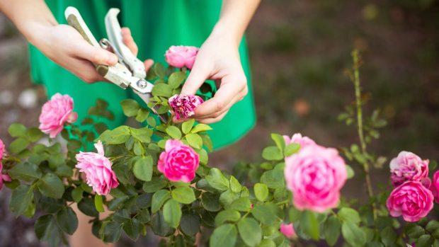 Cómo Podar Rosales Y Cuándo Hacerlo Para Que Crezcan Mejor