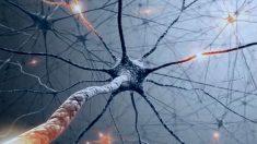 Un gran descubrimiento a nivel neuronal