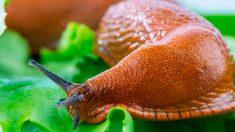 El peligro de comer insectos crudos