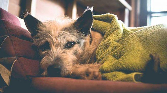 saber perro tiene fiebre