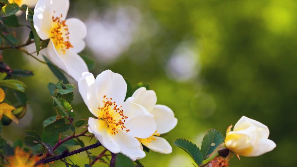 Rosa de mosqueta