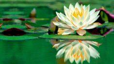 La raíz de loto tiene una amplia gama de beneficios para la salud.
