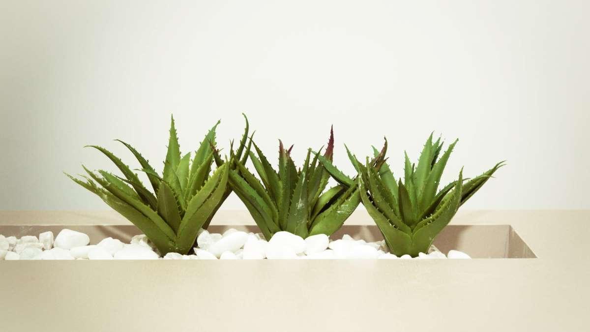 El aloe vera es una de las plantas más beneficiosas para la salud