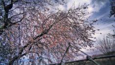 El preludio de la primavera son los almendros en flor (Foto: Aberto D. Prieto).