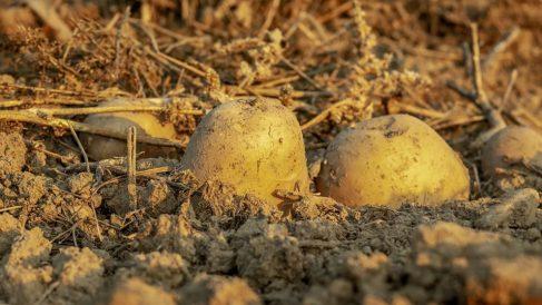 Pasos para sembrar patatas de forma fácil