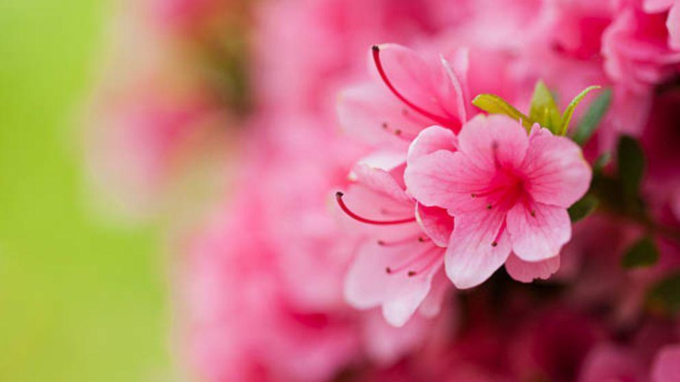 Guía para saber cómo plantar y cuidar azaleas paso a paso