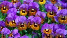 Aprende cómo cuidar violetas paso a paso
