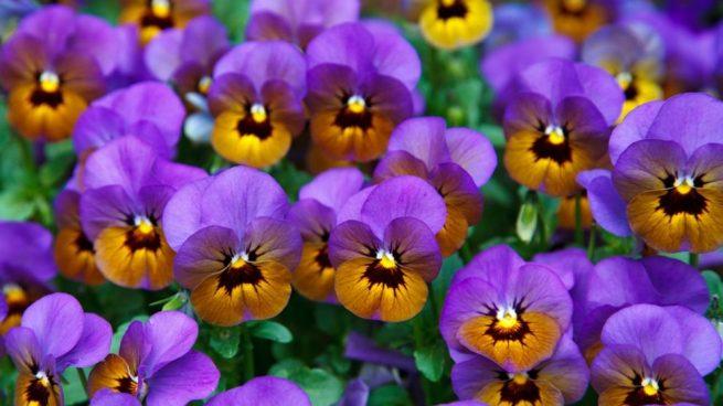 cuidar violetas