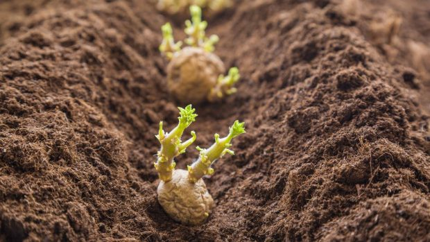 C mo sembrar patatas gu a f cil y completa paso a paso for Como cultivar patatas