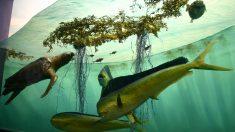 Esta zona se caracteriza por los sargazos, un tipo de conjunto de algas.