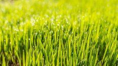 Guía para saber cómo plantar césped paso a paso