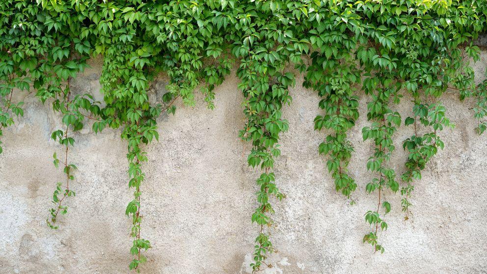 Pasos para saber plantar y cuidar una enredadera de forma correcta.