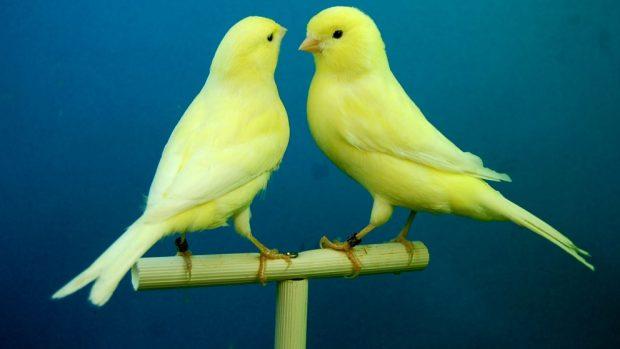 Rener canarios en casa