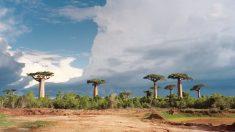 Baobab: el poderoso fruto del África tropical