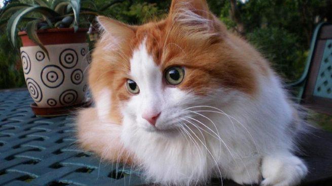 cuidar un gato de angora