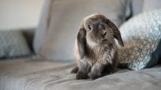 Pasos para cuidar un conejo belier de forma correcta