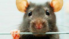 El sentido del olfato de estos roedores está muy desarrollado
