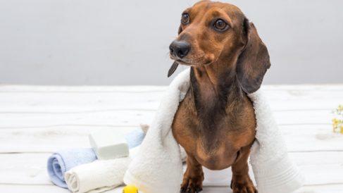 Pasos para cuidar a un perro Teckel paso a paso