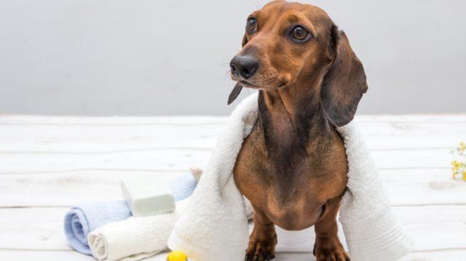 Cuidar a un perro Teckel paso a paso