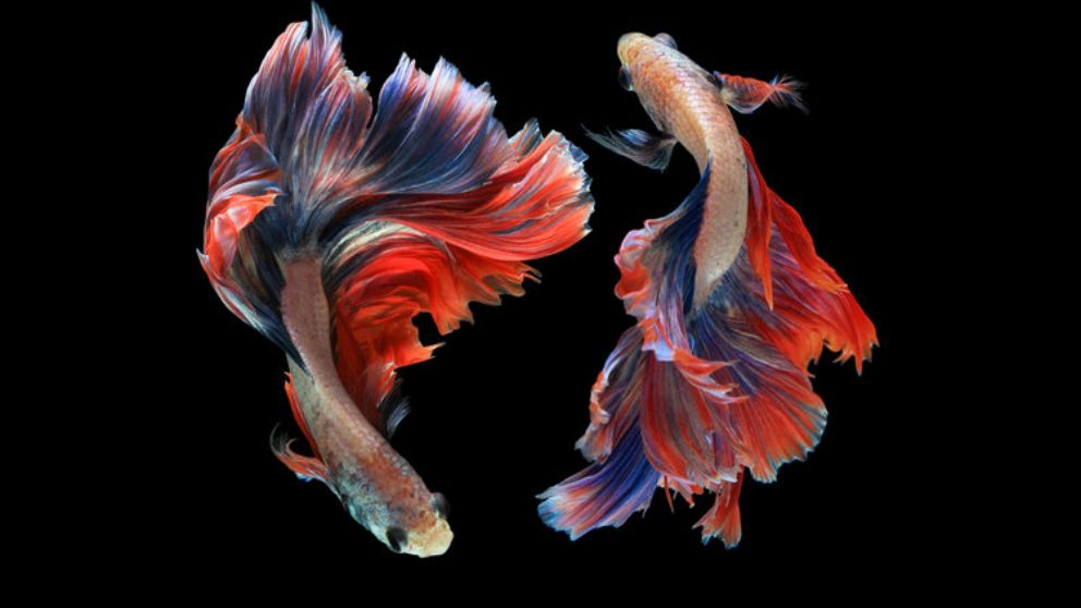 C mo cuidar un pez betta correctamente y paso a paso for Accesorios para estanques de peces