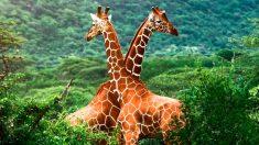 La población de jirafas ha disminuido ampliamente en las últimas décadas