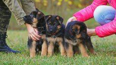 Consejos para alimentar a un pastor alemán cachorro de forma correcta.