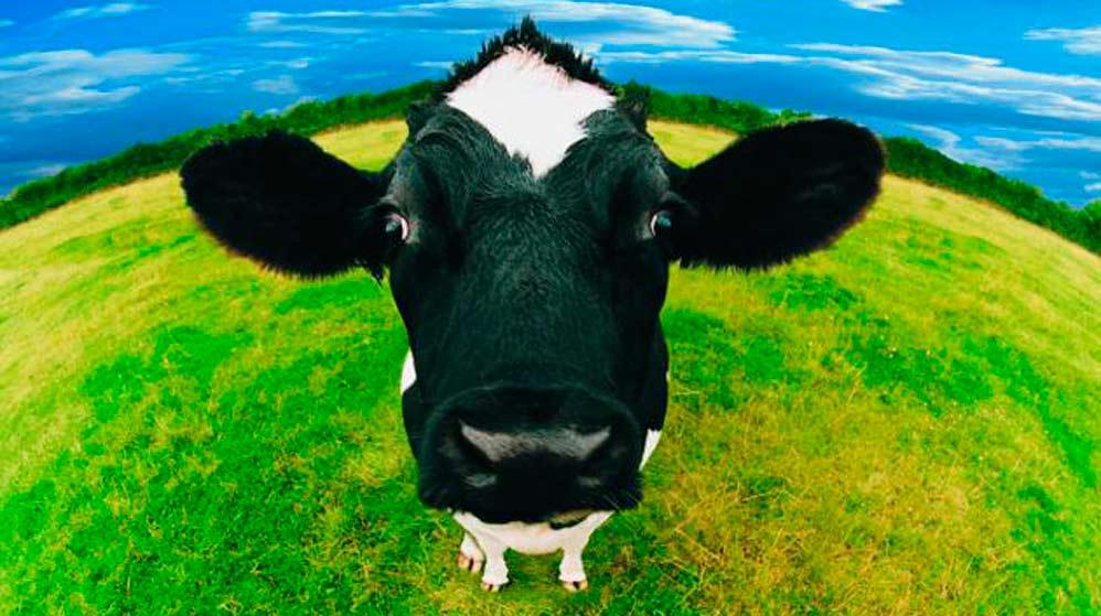 Un proceso en el que la vaca es la auténtica protagonista