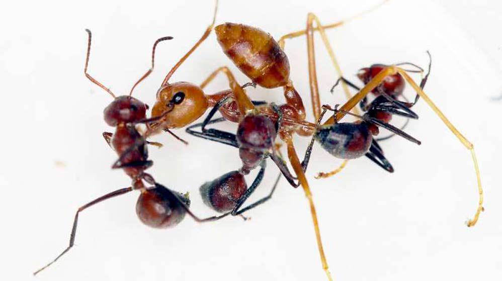 hormiga explosiva