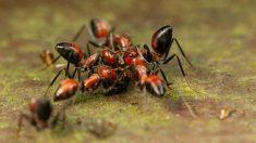 La hormiga más extraña de todas