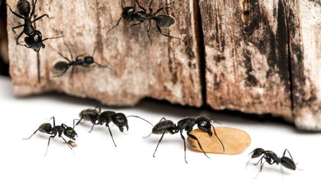 como acabar con las hormigas