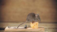 Aprende todos los pasos para hacer trampas para ratones.