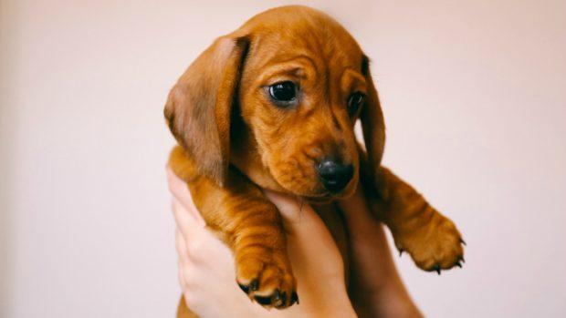 Cómo cuidar a un perro Teckel paso a paso