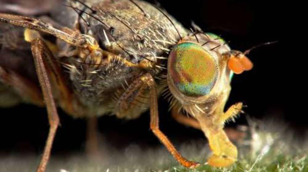 La mosca de la fruta es la especie que ha sido investigada