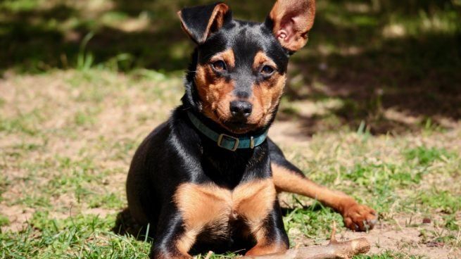 cómo cuidar a un perro pincher miniatura de forma correcta