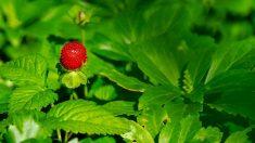 Trucos para plantar fresas paso a paso