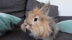 Pasos para saber cómo cuidar un conejo de angora correctamente