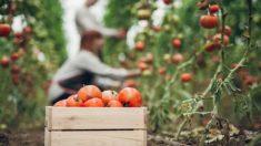 Cómo plantar tomates paso a paso