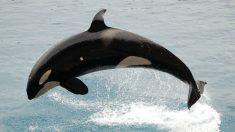 Orca asesina: ¿Cómo es en realidad?