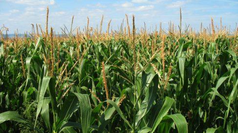 Los granos de sorgo no contienen gluten.
