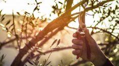 Todos los pasos para podar bien un olivo