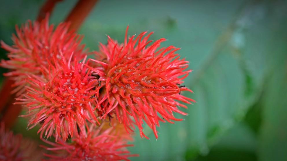 El ricino, una de las plantas venenosas más famosas.