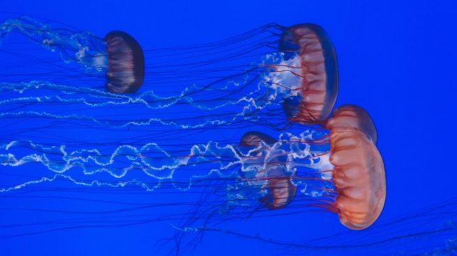 Medusas: datos curiosos sobre estos sorprendentes seres