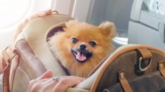 Pasos para preparar a tu perro para viajar