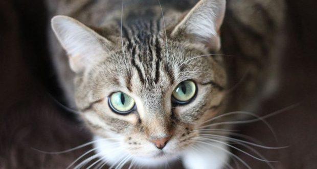 Cómo hacer un collar isabelino para gatos