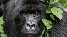 Los gorilas salvajes están evolutivamente muy cercanos a los seres humanos.