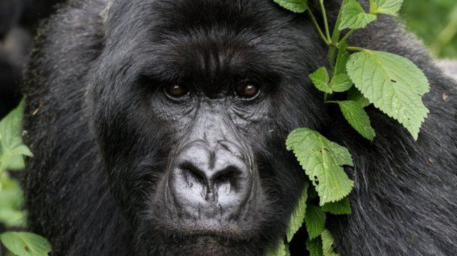 gorilas salvajes