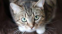 Tener un gato como mascota aporta beneficios a tu salud física y mental.